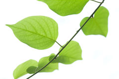 绿色查出的叶子白色 库存图片