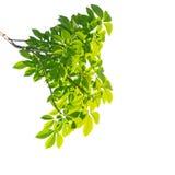 绿色查出的叶子 免版税库存图片