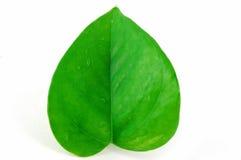 绿色查出的叶子 免版税库存照片