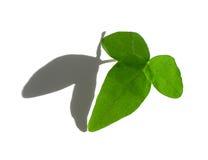 绿色查出的常春藤叶子白色 图库摄影