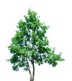 绿色查出的结构树 免版税库存图片