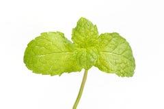 绿色查出的薄菏 免版税库存照片