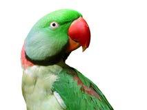 绿色查出的长尾小鹦鹉纵向白色 免版税库存照片