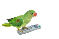 绿色查出的长尾小鹦鹉 库存照片
