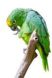 绿色查出的鹦鹉 免版税图库摄影
