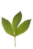 绿色查出空白的叶子 免版税图库摄影