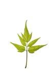 绿色查出空白的叶子 库存图片