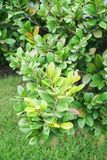 绿色柿树 免版税库存图片