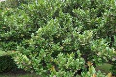 绿色柿树 图库摄影