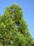绿色树和月亮 免版税库存照片