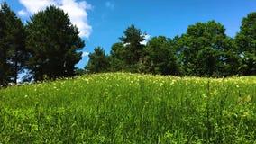 绿色树在反对天空蔚蓝,天的草甸 股票视频