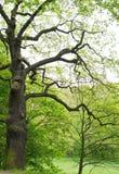 绿色树在春天公园 库存照片
