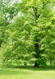 绿色树在春天公园 图库摄影