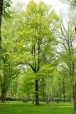 绿色树在春天公园 库存图片
