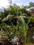 绿色树椰子 库存照片