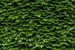 绿色树篱纹理在墙壁上的 免版税图库摄影