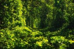 绿色树美丽的隧道  爱隧道 老被放弃的铁路线,在绿色树胡同  免版税库存图片