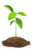 绿色树苗 库存图片