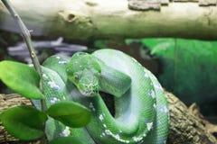绿色树蟒蛇OKC动物园 免版税库存图片