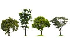 绿色树,美好美好的白色的背景生长潮湿Â大的树 库存例证