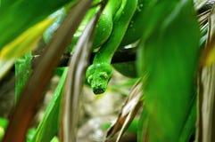 绿色树Python头  免版税库存图片