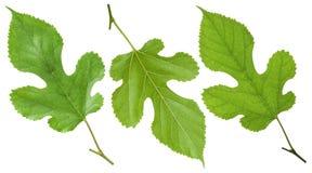绿色桑树叶子 免版税库存照片