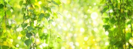 绿色桦树离开分支bokeh背景 免版税库存图片