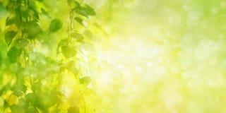 绿色桦树离开bokeh背景 免版税库存照片