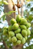 绿色梧桐科结构树 免版税库存图片