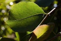 绿色梨在太阳的光芒离开 梨叶子宏指令  库存图片