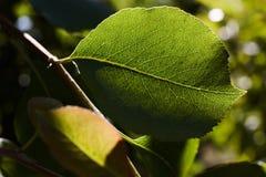 绿色梨在太阳的光芒离开 梨叶子宏指令  免版税图库摄影