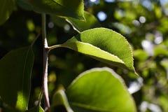绿色梨在太阳的光芒离开 梨叶子宏指令  免版税库存照片