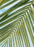 绿色棕榈分支 库存图片