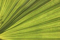 绿色棕榈叶纹理特写镜头 免版税库存图片