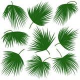 绿色棕榈叶trachycarpus 免版税图库摄影