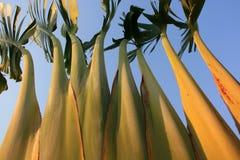 绿色棕榈树树干从下面拍摄与叶子和天空蔚蓝在背景中 免版税库存图片
