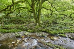 绿色森林和小河在Muniellos生物圈储备,阿斯图里亚斯 库存图片