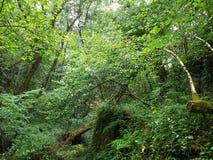 绿色森林在加利西亚 免版税库存照片