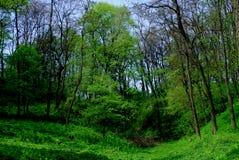 绿色森林在春天 免版税库存图片