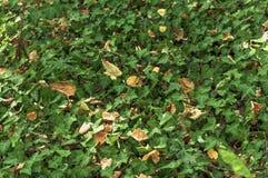 绿色森林常春藤植物爬行物植被背景 免版税库存图片