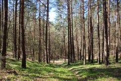 绿色森林狂放的蓝莓树和年轻叶子在春天 库存照片