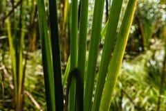 绿色森林猫尾巴叶子和茎生长 免版税库存照片