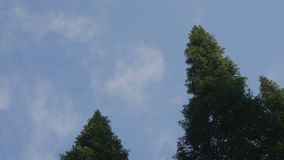 绿色森林 高老树底视图在常青原始森林里 库存图片