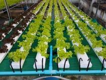 绿色植物、绿色橡木和赤栎行,在水耕的菜种田 免版税库存照片