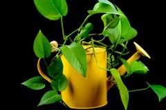 绿色植物从一把黄色喷壶增长 免版税库存图片