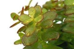 绿色植物唯一多汁植物 免版税图库摄影