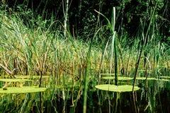 绿色植物在芬兰湖 免版税库存图片