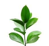 绿色植物年轻人 免版税库存照片