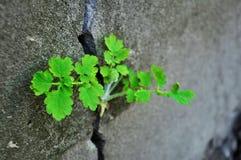 绿色植物白屈菜 库存图片