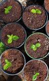 绿色植物盆的茶 库存照片
